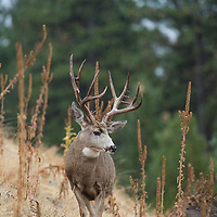 trophy mule deer buck standing on hillside in tall weeds