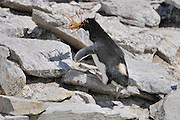 Rockhopper penguins collecting for building a nest plant parts. Rockhopper penguins nest in steep rocky places. Rockhopper penguins Hop from rock to rock.