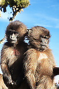 Africa, Ethiopia, Simien mountains national park, two juvenile Gelada monkeys Theropithecus gelada