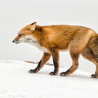 Day 2 of the 7 day Photo Challenge<br /> Arctic Blast<br /> Churchill, Manitoba, Canada<br /> A red fox braces against the wind during a Manitoba blizzard. The high winds kicked up a lot of snow and decreased the visibility. To make this photo, I stopped down the lens to increase the depth of field, in case an errant snowflake threw the autofocus off and waited for a lull in the gusts for a clear shot. The intensity of the winds can be observed by the horizontal streaks cutting across the frame. The fox&rsquo;s bushy tail behaved more like a sail, and would catch the wind, altering its trajectory, making it move kind of sideways across the tundra. Note the beautiful lichens growing on the exposed part of the rock. <br /> Canon EOS 1DX, Canon EF 600mm f/4 L IS II USM, handheld<br /> 1/200s; f/10; 600mm; ISO1600<br /> Post Processing done using Lightroom 5.7.1