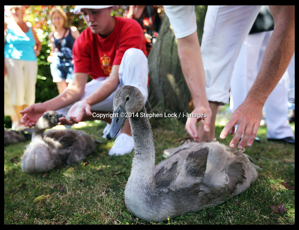 Image licensed to i-Images Picture Agency. 14/07/2014. Shepperton, United Kingdom. Swan Uppers  weigh and measure cygnets brought ashore during the Swan Upping, the annual census of the swan population on the river Thames .Picture by Stephen Lock / i-Images