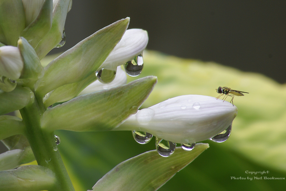 Hosta with Bug