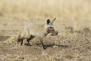 Bat-eared fox<br /> Otocyon megalotis<br /> Parent moving 16 day old pup<br /> Masai Mara Reserve, Kenya