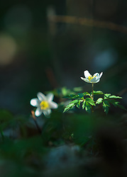 THEMENBILD - das Buschwindröschen (Anemone nemorosa) gehört zur Familie der Hahnenfußgewächse. Die giftige Frühlingsblume wächst besonders gerne in Laub- und Nadelwäldern, aufgenommen am 07. April 2018, Kaprun, Österreich // the wood anemone (Anemone nemorosa) belongs to the family of the Hahnenfußgewächse. The poisonous spring flower likes to grow in deciduous and coniferous forests on 2018/04/07, Kaprun, Austria. EXPA Pictures © 2018, PhotoCredit: EXPA/ Stefanie Oberhauser