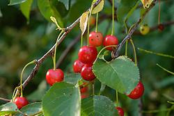 zure kers, Prunus cerasus