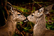 I love you Deerly - Deer - Oregon