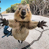 Quokka Won't Leave Man alone