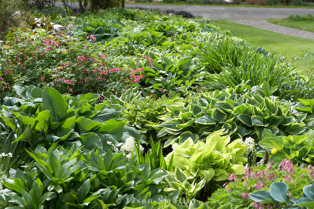 Holehird garden, Windermere Hosta large bed of mixed hostas