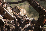 A lioness on the Acacia tree at Kgalagadi Transfrontier Park in South Africa<br /> &copy;Claudio Zamagni