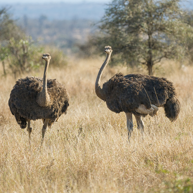 Ostrich in  Kruger NP, South Africa