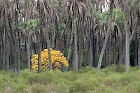 ARBOL PARAISO (Melia azedarach) ENTRE PALMERAS YATAY (Syagrus yatay), PARQUE NACIONAL EL PALMAR, PROV. DE ENTRE RIOS, ARGENTINA