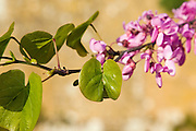 Tree branch thought to be a Judas Tree, Gloucestershire, The Cotswolds, England, United Kingdom