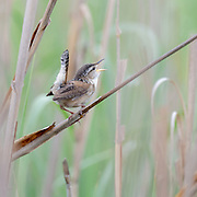 Marsh Wren is very busy singing for his territory