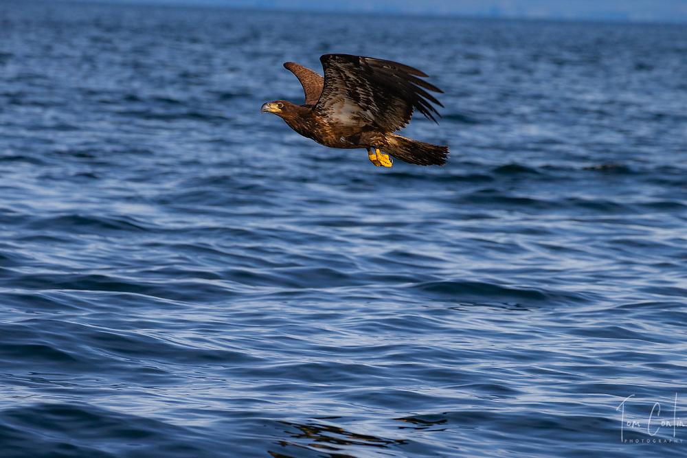 Juvenile Bald Eagle ~  Haliaeetus leucocephalus ~ Inside Passage, Alaska ~ www.adventurequestX.com