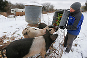 Bret Gaertner feeds the pigs some peppers on a snowy January day.