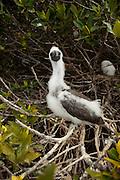 A red-footed booby (Sula sula) on Genovesa Island, Galapagos Archipelago - Ecuador.