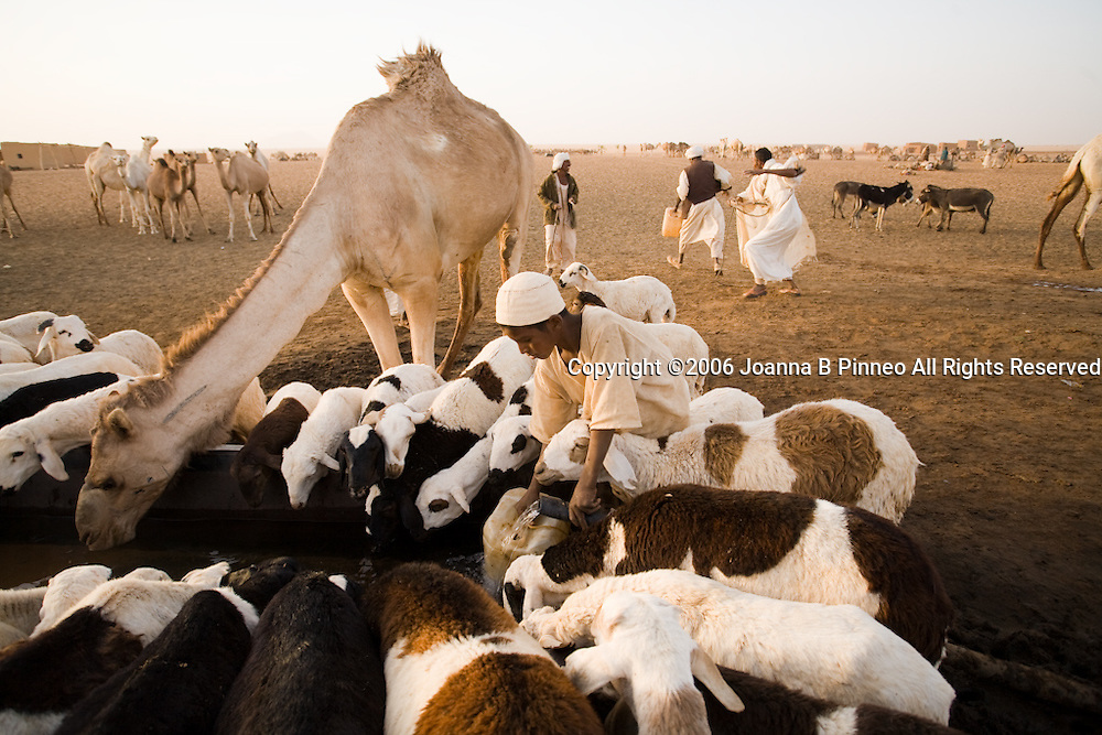 Sheep and a camel share a water trough in Bir Abu Urug in the Sahara Desert, Sudan. Our caravan stops for water here.