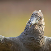 Young black vulture shows off dapper dark gray plumage.