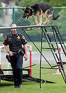 Middletown, New York - A police officer watches his police dog perform during a demonstration at the festival following the 15th annual Ruthie Dino Marshall 5K Run and Fun Walk hosted by the Middletown YMCA on Sunday, June 5, 2011.