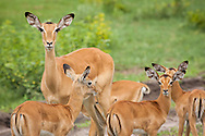 A female impala and three young, Botswana.