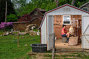 Peach Bottom, Pennsylvania - May 17, 2017: Mika McDougall milks Grandma the sheep in her milking shed Wednesday May 17, 2017.<br /> <br /> <br /> Chris McDougall and his rescue donkey Sherman regularly run with a group of two other runners and two donkeys among the Amish farms in rural Pennsylvania.<br /> <br /> CREDIT: Matt Roth for The New York Times<br /> Assignment ID: 30206505A