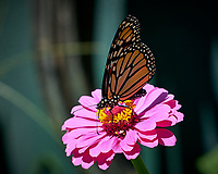 Monarch Butterfly on a Zinnia Flower. Image taken with a Fuji X-H1 camera and 80 mm f/2.8 macro lens (ISO 200, 80 mm, f/4, 1/1300 sec).