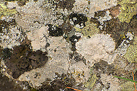A mixed lichen community completely covers a boulder in Eastern Washington's Turnbull National Wildlife Refuge - just south of Spokane.