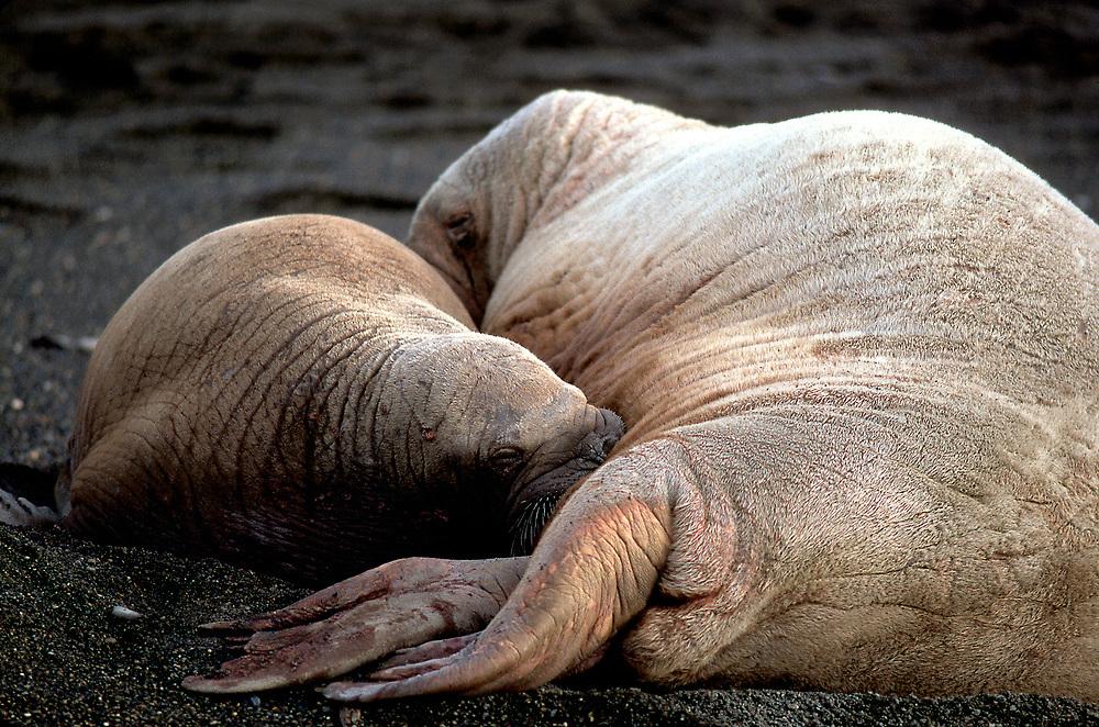 Alaska, Barrow. Walrus pup feeding from mother on coastal beach.