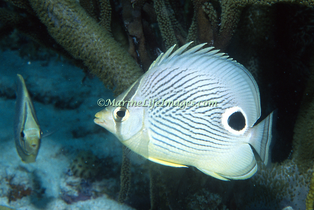 Foureye Butterflyfish flit about reef tops, often in pairs in Tropical West Atlantic; picture taken Key Largo, FL.