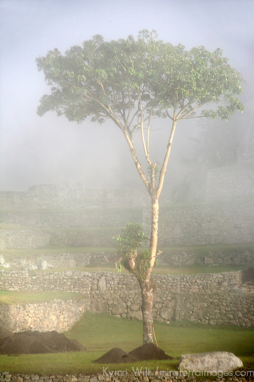 South America, Peru, Machu Picchu. Tree of the ancient citadel of Machu Picchu cloaked in mist.