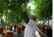 Hetem, an Israeli Druze worker ,tending to the  mother marijuana plants  at a government-approved medical marijuana farm hidden in the Galilee hills in Safed in northern Israel. Many of the plants are named after patients who died from their illnesses such as cancer...The Tikun Olam  company that runs the farm  is the largest in Israel and serves thousands of patients who have been issued special licenses  from the Ministry of Health to receive medical marijuana ...Researchers in israeli claim that cannabis can not only help bring relief to cancer patients in  pain ,  lower high blood pressure,improve appetite , to even helping with the recovery from a heart attack or post traumatic stress disorder ...Tikun Olam developed a new strain from cross breeding which has removed nearly all the THC (tetrahydrocannabinol) which is what makes one feel stoned or high. This new strain has a high concentration level of cannabidiol (CBD) which has  anti-inflammatory and anti-anxiety agents. This new strain is attractive to patients who  old or are children or work and sensitive to THC...The company produces not only the flowers and ready rolled cannabis cigarettes but also cannabis-laced chocolates, cookies, honey, toffee, ointments, gum and cakes ...Marijuana is illegal in Israel but there are over 10,000 Israelis taking medical marijuana to treat a range of illnesses from Cancer, Parkinson's disease to post traumatic stress disorder .(Photo by Heidi Levine/Sipa Press)..
