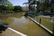 Israel, Golan Heights, Hamat Gader Crocodile farm. Nile crocodile (Crocodylus niloticus)