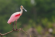 A roseate spoonbill (Platalea ajaja) poses on a branch, High Island, Texas