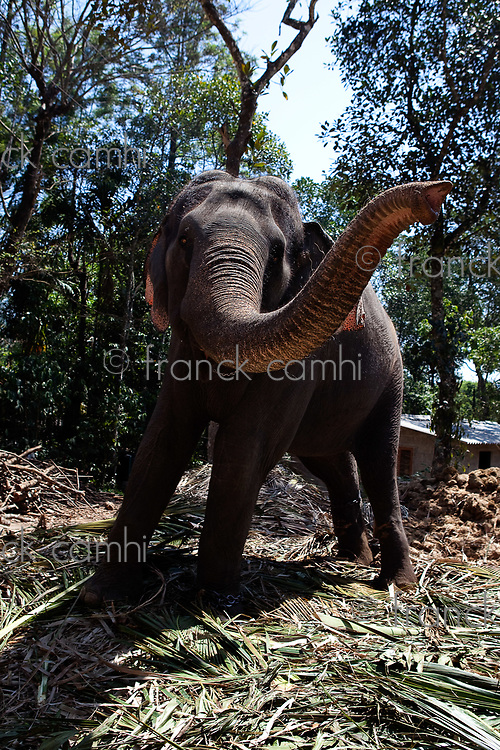 Domestic Elephant in kerala state in india