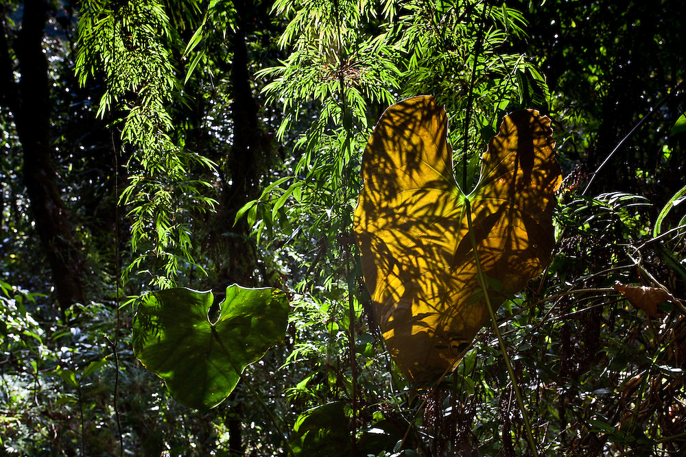 bamboo casts shadows on an elephant ear in mesopotamia beaked toad (Rhinella rostrata) habitat in Sonson, Antioquia, Colombia