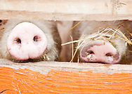 Cute piglets, Pig snouts through fence, baby pigs