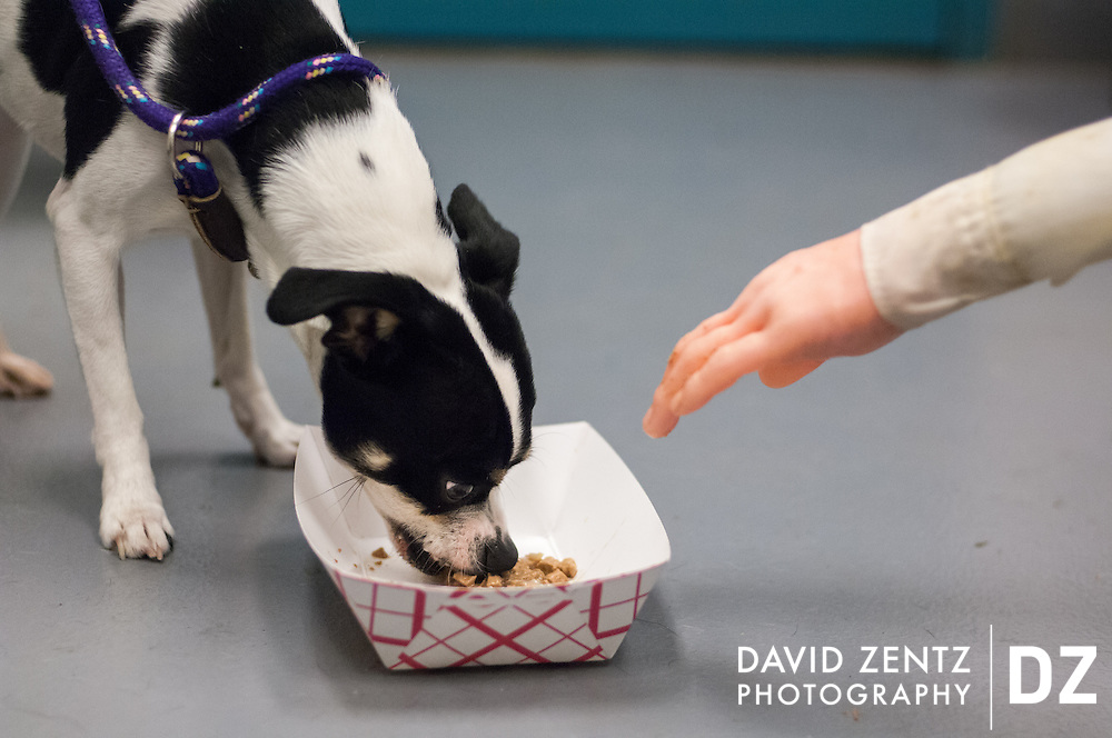 A dog is given a temperament test in which a rubber hand reaches for its food to determine its adoptability at a kill shelter in Peoria, Ill. If the dog bites the hand it is not put up for adoption and will be put to sleep.