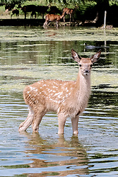 © Licensed to London News Pictures. 23/06/2017. Surrey, UK.  A deer fawn cools off in the water at Bushy Park in Surrey today 23rd June 2017.  Photo credit: Stephen Simpson/LNP