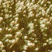 During the autumn the cotton tufts of cottongrass are dispersed by the wind and cover the surrounding vegetation like a shaggy dog shedding its fur on furniture.<br />