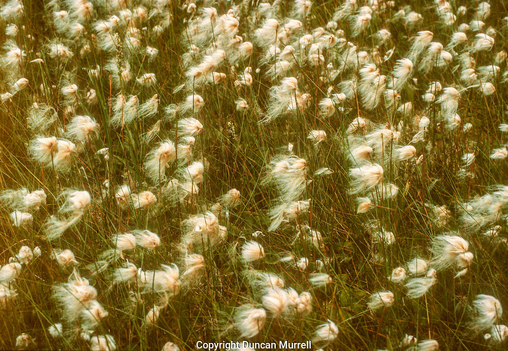 During the autumn the cotton tufts of cottongrass are dispersed by the wind and cover the surrounding vegetation like a shaggy dog shedding its fur on furniture.<br /> <br /> Wet meadow with common cottongrass (Eriophorum angustifolium) blowing in the wind in autumn, Port Houghton, Southeast Alaska, USA.