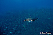 Galapagos penguin, Spheniscus mendiculus, hunting for small fish, Bartholome Island, Galapagos Islands, Ecuador, ( Eastern Pacific )