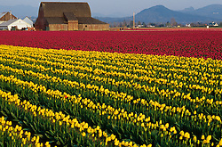North America, USA, Washington, Skagit Valley. Tulip fields with large old barn near La Conner