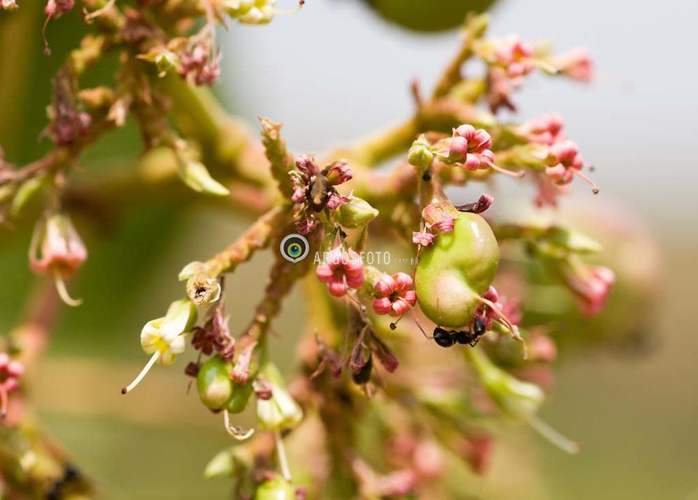 Flor do cajuzinho do cerrado (Flower from Cerrado's cashew).Formigas na castanha do Cajuzinho do cerrado (Ant  over Cerrado's cashew)Cerrado em Goias,Brasil. Brazilian Tropical Savanna (cerrado) in Goias state.