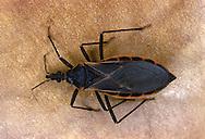 Cone-nose Bug (Kissing Bug), Triatoma rubra