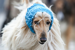 © Licensed to London News Pictures. 09/03/2017. Birmingham, UK. A dog wearing colourful headwear arrives at the 126th annual Crufts dog show at the NEC in Birmingham, West Midlands. The show is organised by the Kennel Club and is the biggest of it's kind in the world.  Photo credit : Ian Hinchliffe/LNP