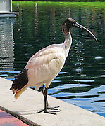 The Australian White Ibis (Threskiornis molucca) is a wading bird of the ibis family Threskiornithidae, shown here in Sydney, New South Wales (NSW), Australia. Widespread across much of Australia, it has a predominantly white plumage with a bare, black head, long downcurved bill and black legs. Historically rare in urban areas, the Australian White Ibis has immigrated to urban areas of the east coast in increasing numbers since the late 1970s and is now commonly seen in Wollongong, Sydney, the Gold Coast, Brisbane and Townsville. Debate continues on whether to consider it a pest or vulnerable species. Populations have disappeared from natural breeding areas such as the Macquarie Marshes in northwestern New South Wales. Despite this, the species has been culled in parts of Sydney due to their smell and at times obtrusive nature. Its sister species is the Sacred Ibis.
