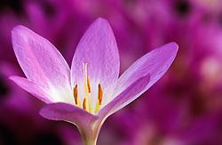 Colchicum 'Rosy Dawn' - Autumn crocus