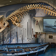Skeleton of a 46-foot  male sperm whale (Physeter macrocephalus) suspended from the ceiling of Gosnell Hall in the Nantucket Historical Museum. This whale stranded on New Year's day 1998. The whaling boat beneath the whale is an authentic whaling boat from nearby New Bedford. The whaling tools and implements displayed on the wall are also authentic.