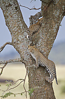 Leopard (Panthera pardus) cubs at play while moms away, Serengeti