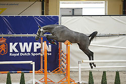 075 - Gyrusa<br /> Vrijspringen 3 jarige merries<br /> KWPN Paardendagen - Ermelo 2014<br /> © Dirk Caremans
